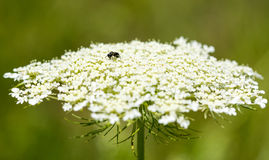 Pequeña abeja en cordón de la reina Anne Foto de archivo