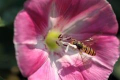 Pequeña abeja en correhuela rosada Foto de archivo