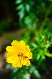 Pequeña abeja en el flor amarillo de la flor Imagen de archivo libre de regalías