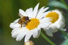 Pequeña abeja en el flor blanco Fotografía de archivo