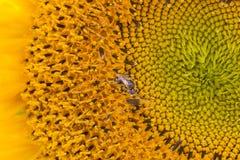 Pequeña abeja en girasol Fotografía de archivo