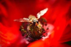 Pequeña abeja en la amapola roja y brote - coloque la flor Foto de archivo libre de regalías