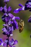 Pequeña abeja en la flor Imagen de archivo
