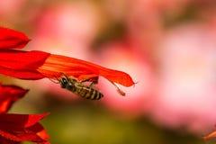Pequeña abeja en la flor Imagen de archivo libre de regalías