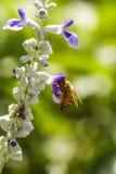 Pequeña abeja en la flor Foto de archivo libre de regalías