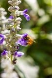 Pequeña abeja en la flor Fotos de archivo libres de regalías