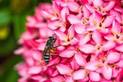 Pequeña abeja en la flor Fotografía de archivo libre de regalías