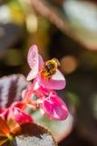 Pequeña abeja en la flor Foto de archivo