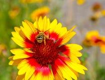 Pequeña abeja en la flor amarilla de la maravilla Foto de archivo libre de regalías