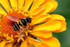 Pequeña abeja en la flor amarilla del Zinnia Imagen de archivo libre de regalías