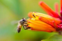 Pequeña abeja en la flor anaranjada Fotos de archivo