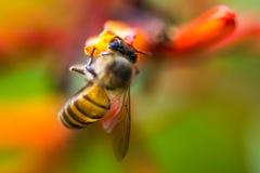 Pequeña abeja en la flor anaranjada Imagen de archivo libre de regalías