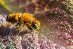 Pequeña abeja en la flor anaranjada Fotos de archivo libres de regalías
