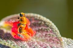Pequeña abeja en la flor anaranjada Foto de archivo libre de regalías