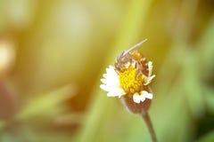 Pequeña abeja en la flor de la hierba con luz del sol Fotos de archivo libres de regalías