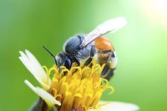 Pequeña abeja en la flor de la hierba con luz del sol Imagen de archivo libre de regalías