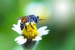Pequeña abeja en la flor de la hierba con luz del sol Fotos de archivo