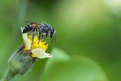 Pequeña abeja en la flor de la hierba con luz del sol Foto de archivo libre de regalías