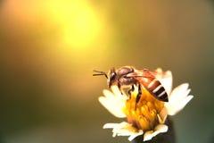 Pequeña abeja en la flor de la hierba con luz del sol Foco suave Imagen de archivo