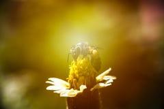 Pequeña abeja en la flor de la hierba con luz del sol Foco suave Foto de archivo
