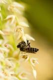 Pequeña abeja en la flor de la palma de betel Fotos de archivo