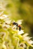 Pequeña abeja en la flor de la palma de betel Fotografía de archivo
