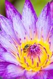Pequeña abeja en la flor de loto Foto de archivo