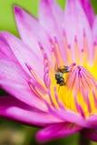 Pequeña abeja en la flor de loto Fotos de archivo libres de regalías