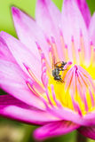Pequeña abeja en la flor de loto Imagen de archivo libre de regalías
