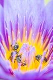 Pequeña abeja en la flor de loto Imágenes de archivo libres de regalías
