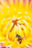 Pequeña abeja en la flor de loto Imagen de archivo