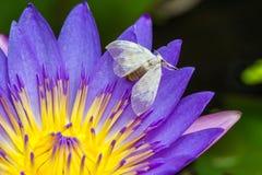 Pequeña abeja en la flor de loto Fotografía de archivo