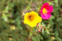 Pequeña abeja en la flor de Portulaca Imagenes de archivo