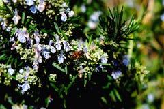 Pequeña abeja en la flor de Rosemary Imagen de archivo libre de regalías