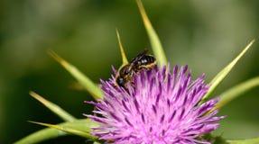 Pequeña abeja en la flor del cardo Foto de archivo libre de regalías