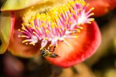 Pequeña abeja en la flor del obús Imagen de archivo