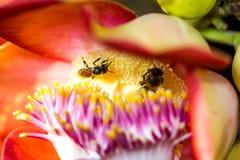 Pequeña abeja en la flor del obús Foto de archivo libre de regalías