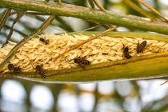 Pequeña abeja en la flor del plam del betel Imagenes de archivo