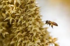 Pequeña abeja en la flor del plam del betel Imagen de archivo libre de regalías