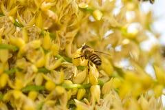 Pequeña abeja en la flor del plam del betel Imágenes de archivo libres de regalías