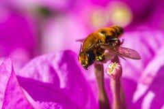 Pequeña abeja en la flor púrpura Foto de archivo libre de regalías