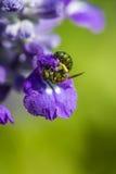 Pequeña abeja en la flor púrpura Imagen de archivo libre de regalías