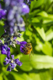 Pequeña abeja en la flor púrpura Fotos de archivo