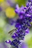 Pequeña abeja en la flor púrpura Fotografía de archivo libre de regalías