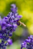 Pequeña abeja en la flor púrpura Foto de archivo