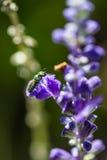 Pequeña abeja en la flor púrpura Imagen de archivo
