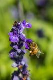 Pequeña abeja en la flor púrpura Imagenes de archivo