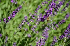 Pequeña abeja en la flor púrpura de la lavanda Imagen de archivo libre de regalías