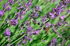 Pequeña abeja en la flor púrpura de la lavanda Foto de archivo