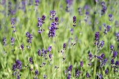 Pequeña abeja en la flor púrpura del levander - al aire libre Fotos de archivo libres de regalías
